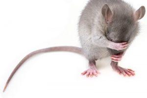 הדברת עכברים וחולדות מקצועית ומהירה